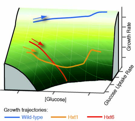 Growth landscape formed by perception and import of glucose
